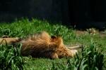 lion sleeping grass seattle zoo travel visit