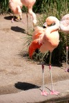flamingo seattle zoo photography