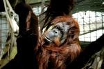 orangutan sad climbing tree seattle zoo travel visit photography
