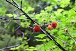 lewis river berries summer hiking macro photography