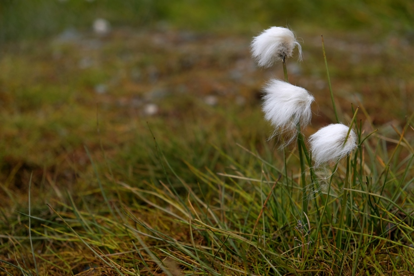 Arctic cottongrass