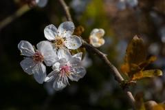 white_blossom_macro