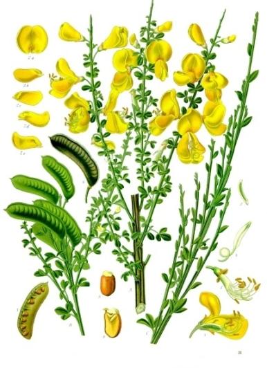 Cytisus_scoparius_-_Köhler–s_Medizinal-Pflanzen-200