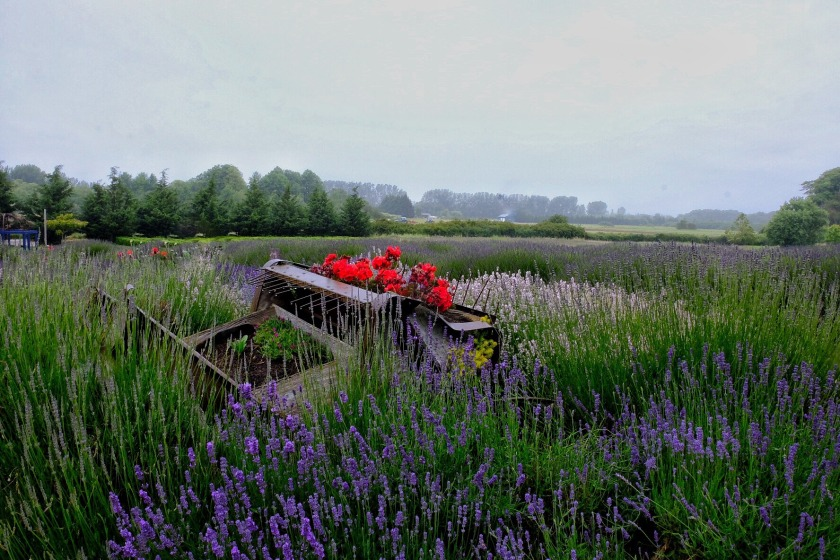lavender12